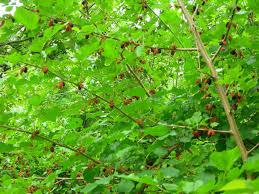 White Mulberry Tree  Nature Hills NurseryTeas Weeping Fruiting Mulberry Tree