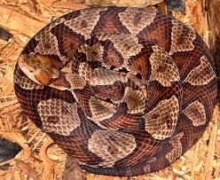 Copperhead Pattern