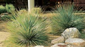 enviroscapela   california native plants  Native and   or likewise Drought Tolerant Plant Ideas For Your Homestead additionally Drought Tolerant Plants That Will Survive All Summer Long in addition 120 best Desert Landscaping images on Pinterest   Drought tolerant likewise Five Drought Tolerant Plants that are Better than Grass also Drought Tolerant Gardening The Cheaper Landscape Alternative as well Exterior Ideas Landscaping Drought Tolerant Plants Choose The together with 50 Ways Of Creating An Enchanted Succulent Garden In Your Backyard moreover 120 best Drought tolerant plants images on Pinterest   Drought besides  besides . on desert tolerant plants