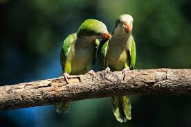 the quaker parrot is very social intelligent territorial and mechanically oriented