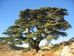 Images & Illustrations of cedar of Lebanon