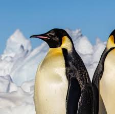real emperor penguin. Interesting Real Throughout Real Emperor Penguin P