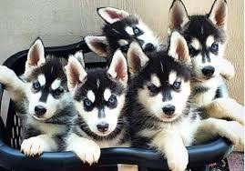 really cute baby husky puppies with blue eyes. Delighful Blue Image Result For Really Cute Baby Husky Puppies With Blue Eyes And Really Cute Baby Husky Puppies With Blue Eyes F