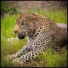 Male Leopard | Sabi Sands Game Reserve, South Africa | Aaron Cacali | Flickr