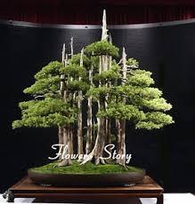 office bonsai tree. Unique Bonsai Image Is Loading 20juniperbonsaitreeSeedspottedflowersoffice Intended Office Bonsai Tree