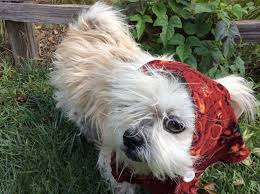 picture of handmade ewok dog costume