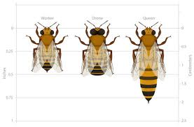 Honey Bee Colonies Ask A Biologist