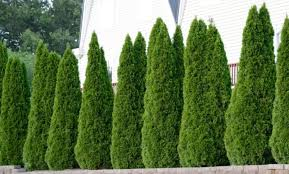 The Best Fertilizer For Arborvitae Trees With Great Results