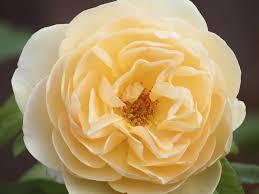 Fragrant Rose Plant PromotionShop For Promotional Fragrant Rose Fragrant Rose Plants