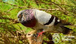 Cherie's Bird of the Month: Rock Pigeon, Part 2 - Yucatan Today