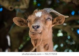 funny goat eating