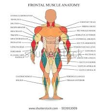 Muscle Chart Template Mesmerizing Human Musculature Chart Kozman
