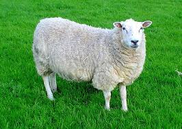 Czy owce są takie głupie, na jakie wyglądają? - WP Książki