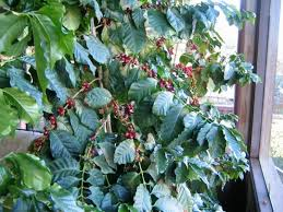 Consuming this plant causes vomiting, lethargy, abdominal pain, weakness, and depression. Part Ii All You Need To Know About Growing Coffee Trees In Your Home Thanksgiving Coffee