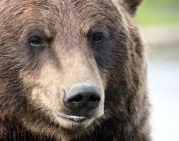 Bear Classification Chart Grizzly Bear Ursus Arctos Horriblis Animals A Z Animals