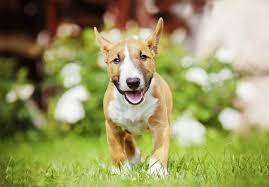 miniature bull terrier. Brilliant Miniature Intended Miniature Bull Terrier U