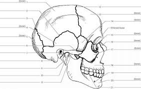 Small Picture Anatomy Of The Skull Worksheet Human Anatomy Chart