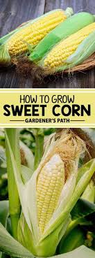 corn is a great addition to any garden with hundreds of hybrids for farmers to