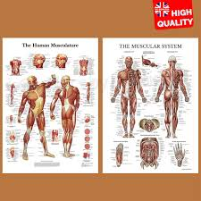 Details About Muscular System Human Anatomy Muscle Chart Educational Poster Print A4 A3 A2 A1