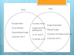 Venn Diagram Of Transcription And Translation Transcription Vs Translation Venn Diagram Magdalene