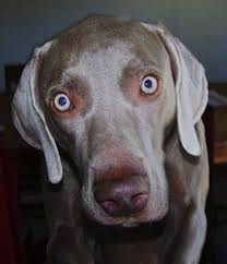 close up the face of a weimaraner dog that is standing on a carpet and