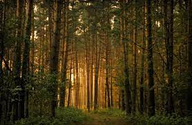 trees | Forest wallpaper, Tree forest ...