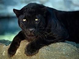 albino black panther. Simple Panther To Albino Black Panther E