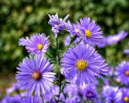 average american flower size aster how to plant grow and care for aster flowers the old