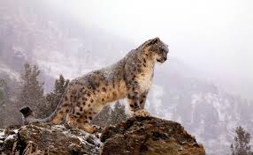 365 Snow Leopard HD Wallpapers ...