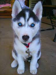black husky puppies with blue eyes. Simple With Cute Black And White Siberian Husky Puppy With Blue Eyes For Black Husky Puppies With Blue Eyes D