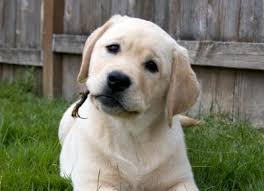 adorable retriever pup