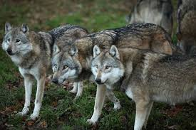 gray wolf pack playing. Fine Playing A Pack Of Gray Wolves In Wolf Pack Playing