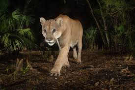 Select from premium florida panthers of the highest quality. Endangered Florida Panthers Filmed Fighting For The First Time