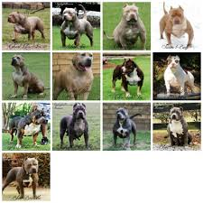 Pitbull Color Chart 27 Described American Bully Breeding Color Chart