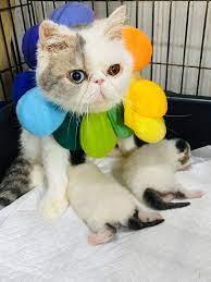 แมวแปลว่า อิสระ... - แมวExotic shorthair