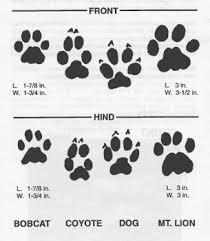 Coyote Prints Vs Dog Prints Mountain Lion Coyote Tracks