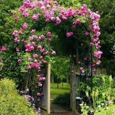 Best 25 Roses For Shade Ideas On PinterestClimbing Plant For Shade