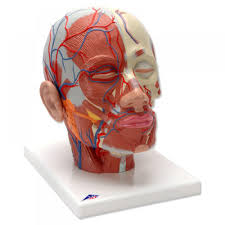 face anatomy head musculature model with blood vessels vb128 face anatomy