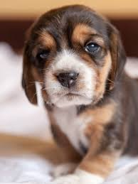 Beagle (Puppy, Cute, Muzzle, Face)HD ...