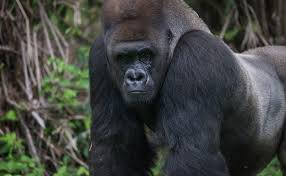 Image result for who's to blame for gorilla