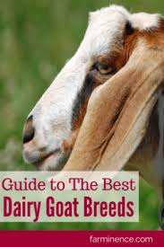 Dairy Goat Breeds Best Dairy Goat Breeds Homestead Bloggers Network