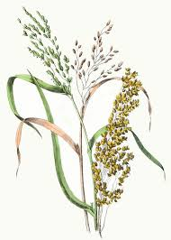 rice plant drawing. Wonderful Plant Rice U0026amp Millet Drawing  ReusableArtcom Plant Illustration Botanical  Graphic Intended