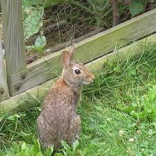 Kitchen Garden Fence Do Rabbits Get A Bad Rap Your Small Kitchen Garden Garden