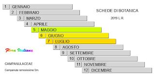 Campanula ramosissima [Campanula ramosissima] - Flora Italiana