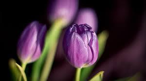spring tulip desktop wallpaper. Interesting Desktop Spring Tulip Flowers For Desktop Wallpaper
