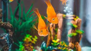 Ciri Ciri Ikan Stress