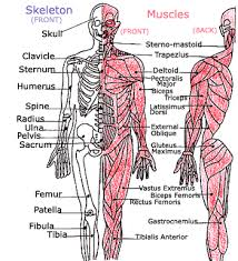 The muscular system is an organ system consisting of skeletal, smooth and cardiac muscles. Kids Health Topics Your Muscles