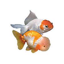 petsmart black goldfish. Delighful Petsmart Fancy Goldfish In Petsmart Black A
