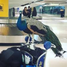Emotional support animal real Landlord Nbc News Emotional Support Peacock Denied Flight By United Airlines