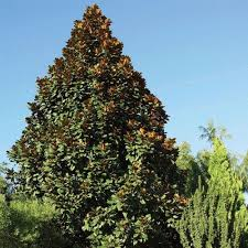 Teddy Bear Magnolia, Live Evergreen Tree, White Fragrant Blooms
